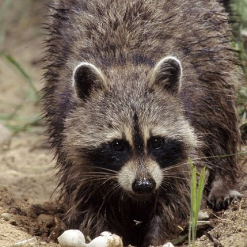 Raccoon eating sea turtle nest