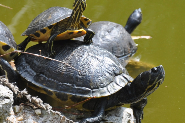 Unlike other reptiles, turtles have shells and beaks.
