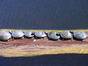 Turtles sunning at the Aquarium