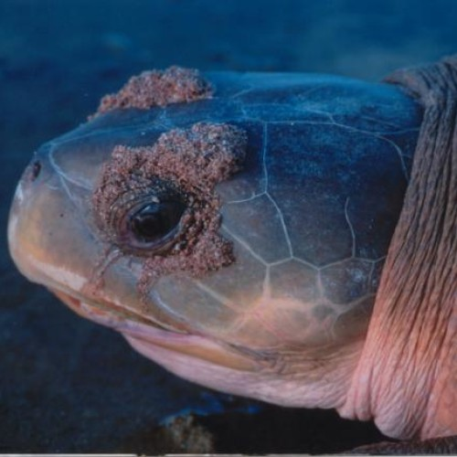 Glands near their eyes help sea turtles get rid of extra salt.