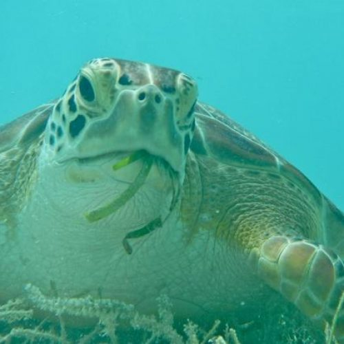 Green sea turtles only eat vegetables (photo by Scott Eanes).