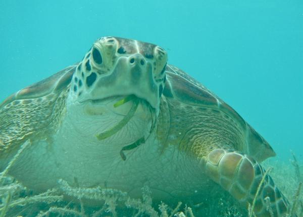 74a05e0682 Feeding. Green turtle nesting