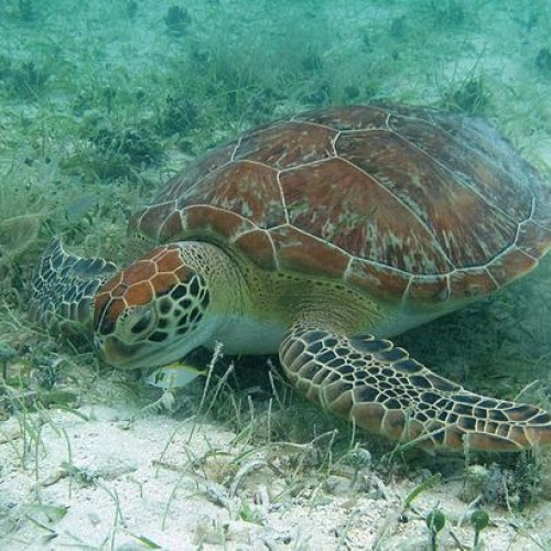 Sea turtles have many different adaptations for feeding.