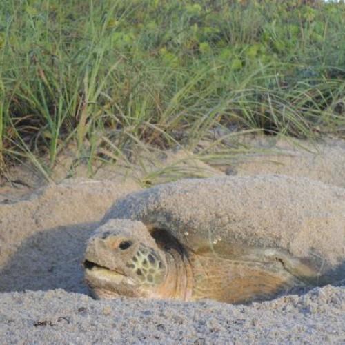 Green turtle nesting