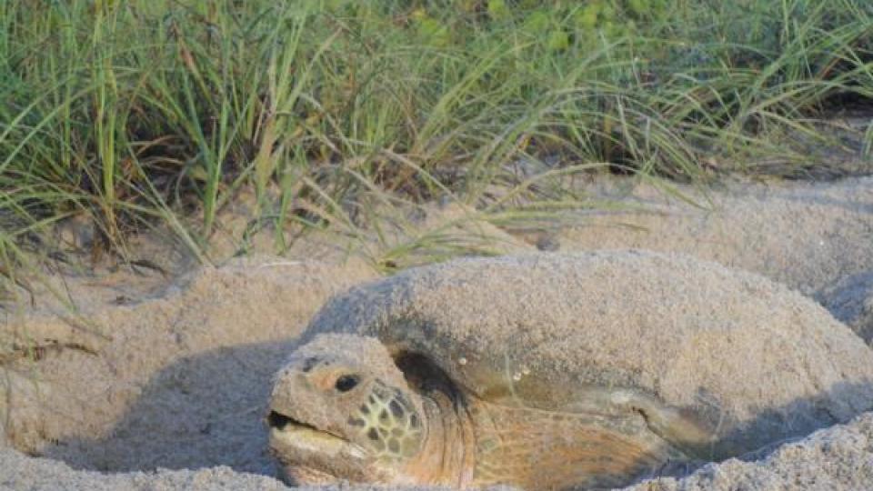 Green turtle nesting (by Christina Martin)