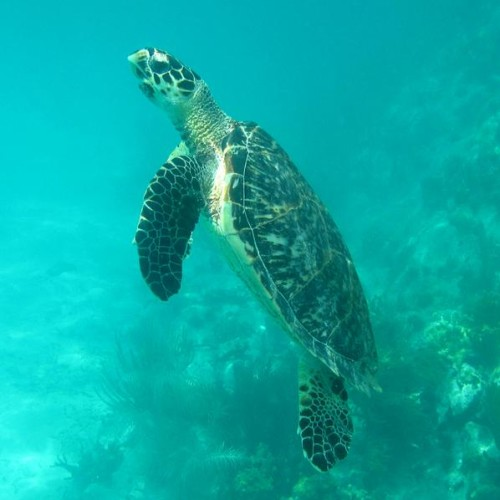 Hawksbill at a coral reef