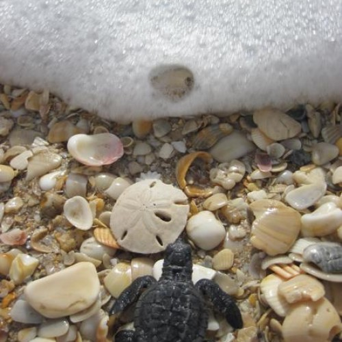 Kemp's ridley hatchling heading to the ocean