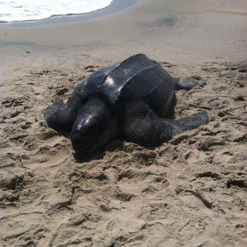 Adult leatherback on the beach