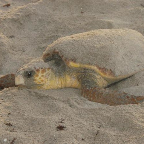 Sea turtle flippers are also good for digging nests.