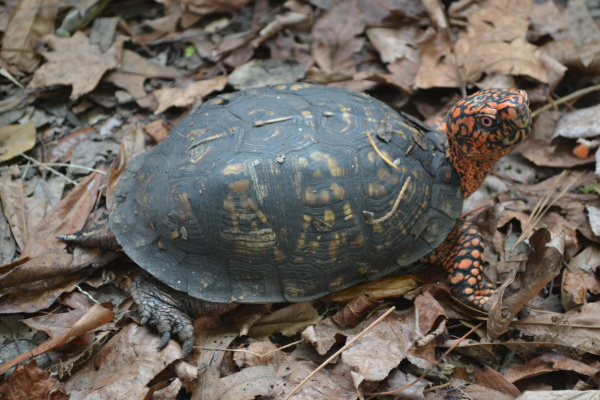 Male box turtle at the NC Aquarium at Fort Fisher.
