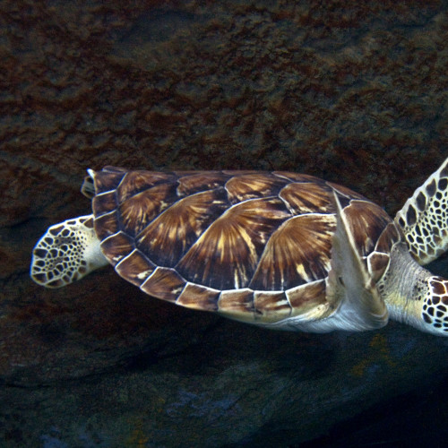 Sea turtles are well adapted to life in the water.