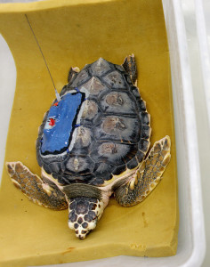 A loggerhead hatchling with a satellite tag ready to be released.