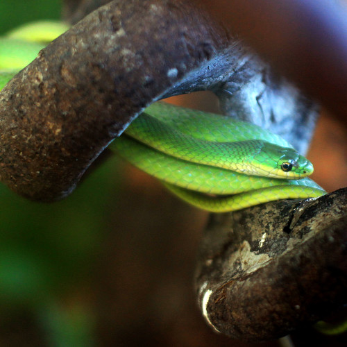 Rough green tree snake at the North Carolina Aquarium at Fort Fisher