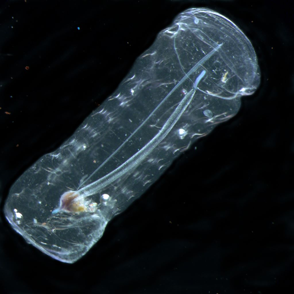 Salp (courtesy Census of Marine Zooplankton)