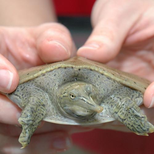 Softshell turtle at the North Carolina Aquarium at Fort Fisher.
