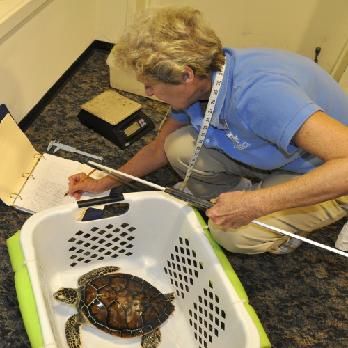 Weighing and measuring green sea turtles at the North Carolina Aquarium at Fort Fisher.