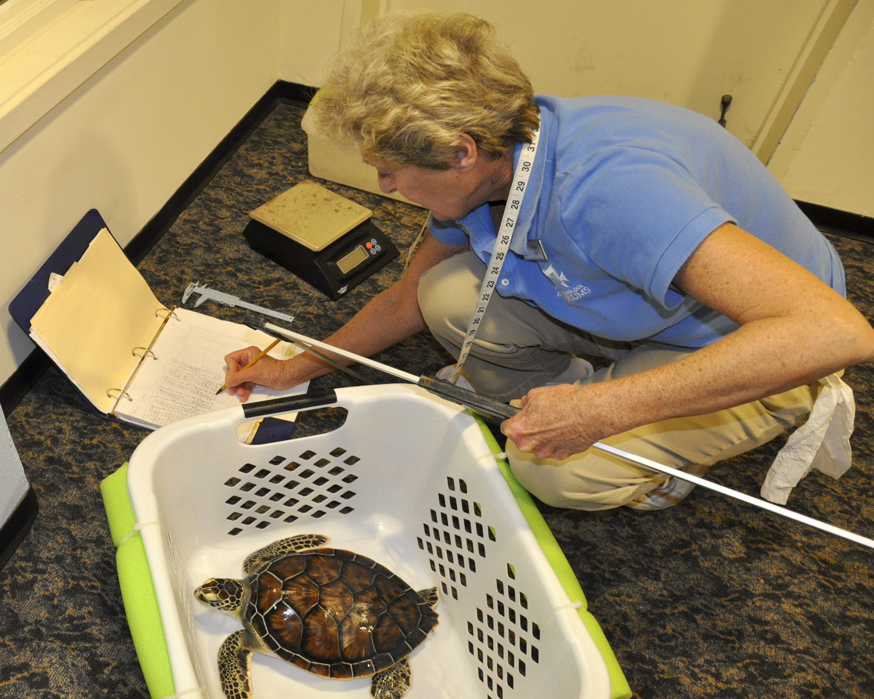 A volunteer at the North Carolina Aquarium at Fort Fisher helps measure sea turtle growth.