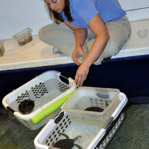 Young green sea turtles being fed at the North Carolina Aquarium at Fort Fisher.