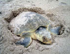 Sea turtles can spend a long time on the beach making their nests