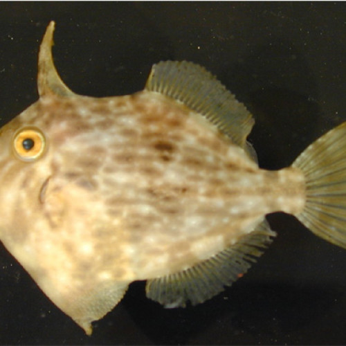 Many species, like this planehead filefish, are colored to be camouflaged in the sargassum.