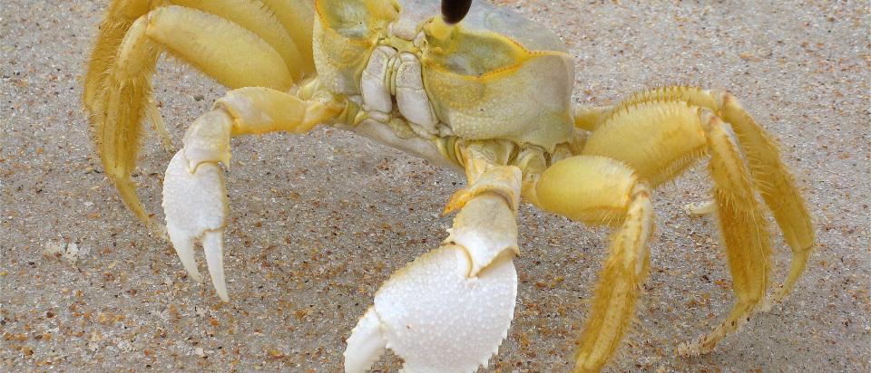 FloridaGhostCrab