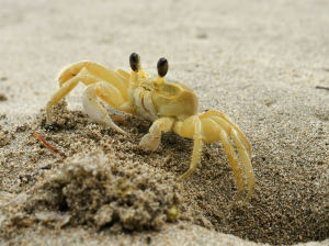 The Ghost Crab | Sea Turtle Exploration