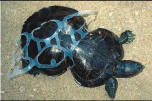 This turtle was caught in a six pack ring as a small turtle. Its shell grew around the plastic.