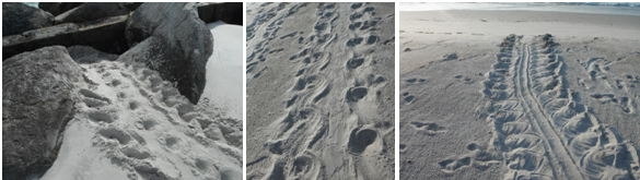 Tracks from left to right: Junebug (missing a rear flipper), a loggerhead, a green turtle.