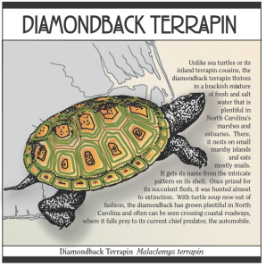 Diamondback terrapins can be found at the Aquarium.