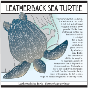 Leatherback turtles are the largest sea turtle in the world.