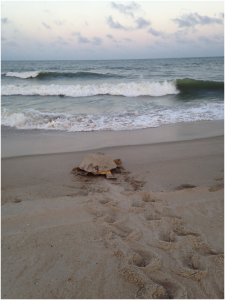 Turtle headed back to sea