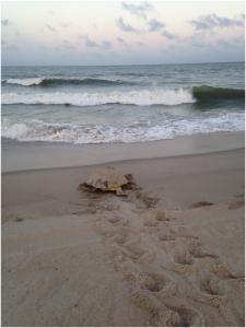 Turtle headed back to sea