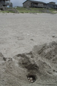 A sea turtle nest being studied on Bogue Banks