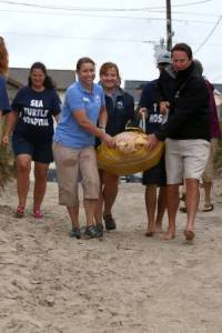 Aquarium staff carry Buxton, a Loggerhead sea turtle, out to the surf.