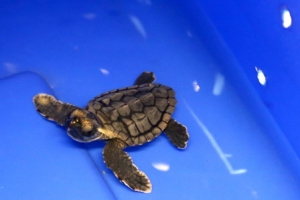 One of our two loggerhead hatchlings