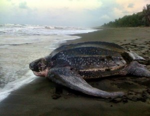 A nesting leatherback returns to the sea