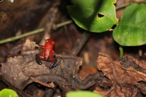 A strawberry poison dart frog