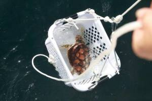 The yearling is lowered from the boat for release into the ocean