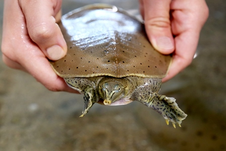 Spiny Softshell Turtle 3