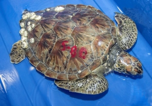 Cold-stunned turtles are numbered to help staff identify which one is which in order to track their progress