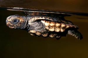 A loggerhead hatchling floats with its flippers behind its shell in our sea turtle exhibit