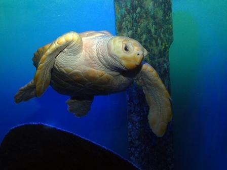 NCA-PKS Nimbus rare white loggerhead sea turtle (3)