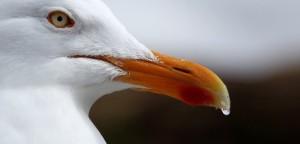 herring-gull-mikemercer