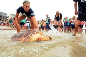 Sarah is a local biologist that works with both sea turtles and diamondback terrapins. Here she helps release a rehabilitated sea turtle.