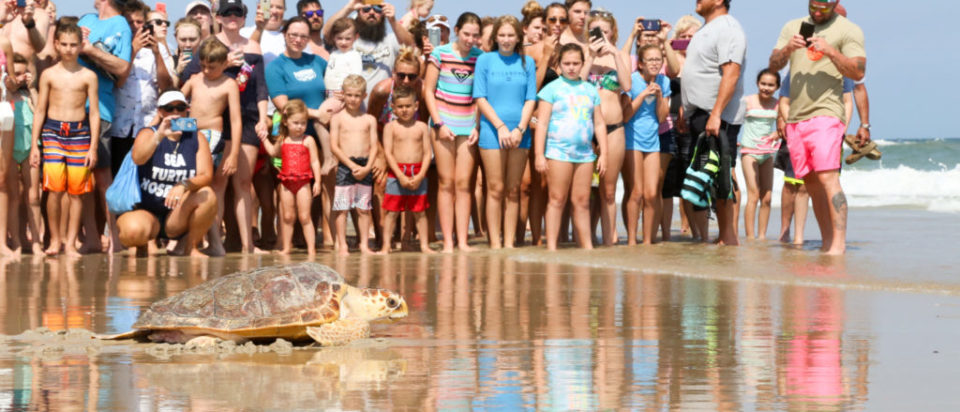 2017 Topsail Turtle Release-5